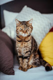 Gato que se sienta en un sofá Imágenes de archivo libres de regalías