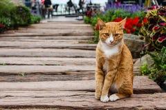 Gato que senta-se em um assoalho de ponte de madeira em Tailândia Fotos de Stock Royalty Free