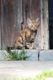 Gato que senta-se na frente da porta de celeiro Imagens de Stock