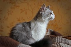 Gato que senta-se na sala Imagem de Stock