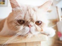 Gato que senta-se na tabela Imagens de Stock Royalty Free