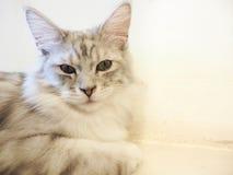 Gato que senta-se no assoalho Foto de Stock Royalty Free