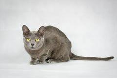 Gato que senta-se no fundo branco Imagem de Stock