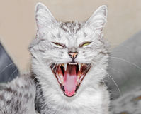 Gato que silba Imagen de archivo libre de regalías