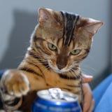 Gato que tenta uma bebida efervescente Fotos de Stock