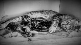 Gato que toma de seus gatinhos pequenos no tecido Imagens de Stock Royalty Free