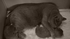 Gato que toma el cuidado de sus gatitos en el sofá almacen de metraje de vídeo