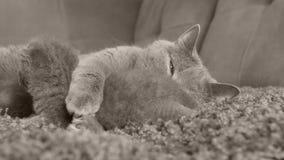 Gato que toma el cuidado de sus gatitos en el sofá almacen de video