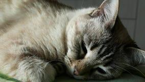 Gato que toma una siesta y que despierta, cercano para arriba en el hocico Gato persa con los ojos azules almacen de video