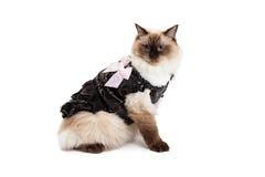 Gato régio de Ragdoll no vestido de Brown com curva cor-de-rosa Fotografia de Stock Royalty Free
