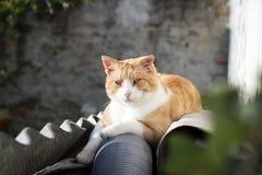 Gato rústico que relaxa no jardim enorme/que olha feliz Fotografia de Stock