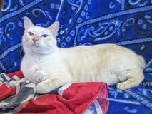 Gato rabicorto americano blanco del manix foto de archivo libre de regalías