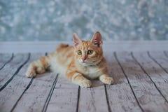 Gato rabicorto del americano Imagenes de archivo
