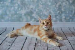 Gato rabicorto del americano Fotos de archivo