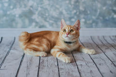 Gato rabicorto del americano Imagen de archivo libre de regalías