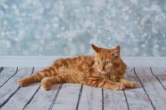 Gato rabicorto del americano Imágenes de archivo libres de regalías