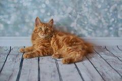 Gato rabicorto del americano Foto de archivo libre de regalías