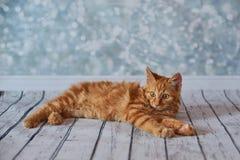 Gato rabicorto del americano Fotos de archivo libres de regalías
