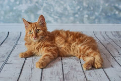 Gato rabicorto del americano Fotografía de archivo