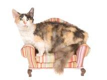 Gato raro de Skookum en el mini sofá Imagen de archivo libre de regalías