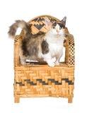 Gato raro de Skookum que se coloca en silla de bambú tejida Fotos de archivo libres de regalías