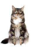 Gato rayado Foto de archivo