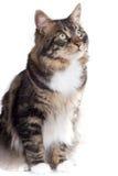 Gato rayado Imagenes de archivo