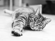 Gato rayado Foto de archivo libre de regalías