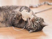 Gato rayado Imagen de archivo