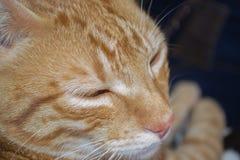 Gato rayado amarillo Foto de archivo