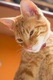 Gato rayado amarillo Fotos de archivo libres de regalías