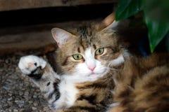 Gato rayado blanco y marrón que aumenta su pata foto de archivo