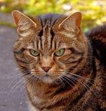 Gato rayado con los ojos verdes Foto de archivo libre de regalías