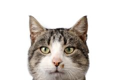 Gato rayado en el fondo blanco Fotografía de archivo libre de regalías