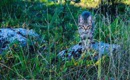 Gato rayado en la hierba en la piedra imagen de archivo