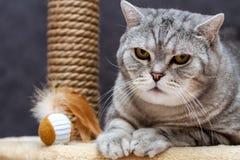 Gato rayado escocés del shorthair lindo que mira la cámara imagenes de archivo