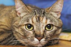 Gato rayado gris Foto de archivo libre de regalías