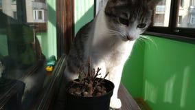 Gato rayado gris que come la pequeña planta en el balcón soleado metrajes
