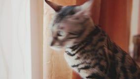 Gato rayado lindo en casa almacen de metraje de vídeo