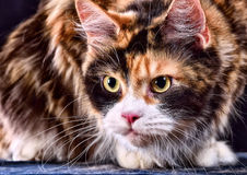 Gato Raza - Maine Coon Imagen de archivo