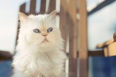 Gato real Fotografía de archivo libre de regalías