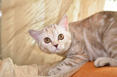 Gato receoso foto de stock royalty free