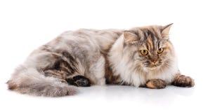 Gato recto británico excelente en un fondo blanco pet imagen de archivo