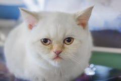 Gato recto escocés Fotos de archivo