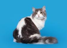 Gato recto escocés de la montaña Imagenes de archivo