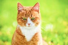 Gato Redheaded en hierba verde Foto de archivo