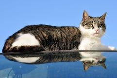 Gato reflejado Fotos de archivo libres de regalías