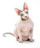 Gato regordete de Sphynx del canadiense Foto de archivo