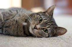 Gato relajado Fotos de archivo libres de regalías