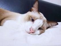Gato relajado encrespado para arriba en la cama, dormir del gris y blanco del gato foto de archivo libre de regalías